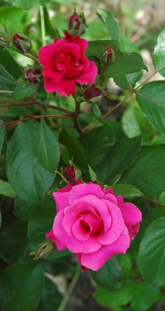 rose parco sigurtà