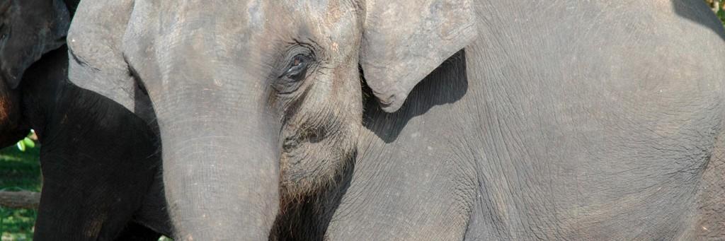 elefante sri lanka tusoperator