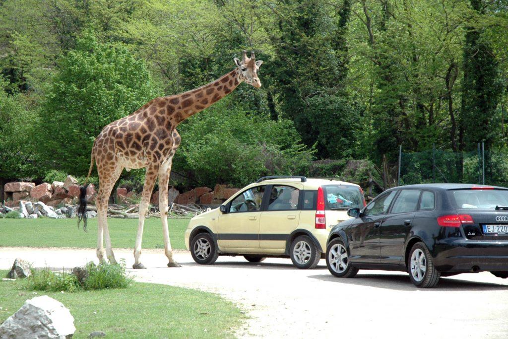 giraffa e auto Parco Natura Viva di Bussolengo