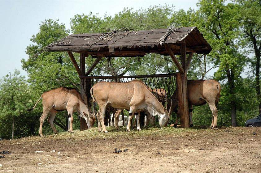 antilopi nello zoo safari vicino al lago di garda_parco natura viva