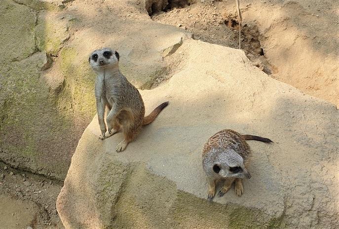 suricati al parco delle cornelle_zoo di bergamo