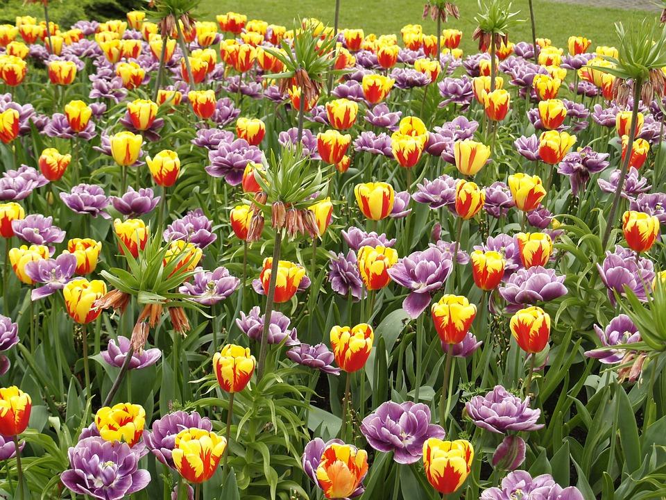 fioritura tulipani al parco giardino sigurtà di verona
