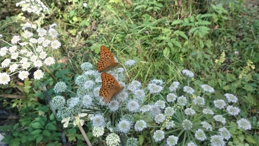 farfalle tra i fiori della val vertova