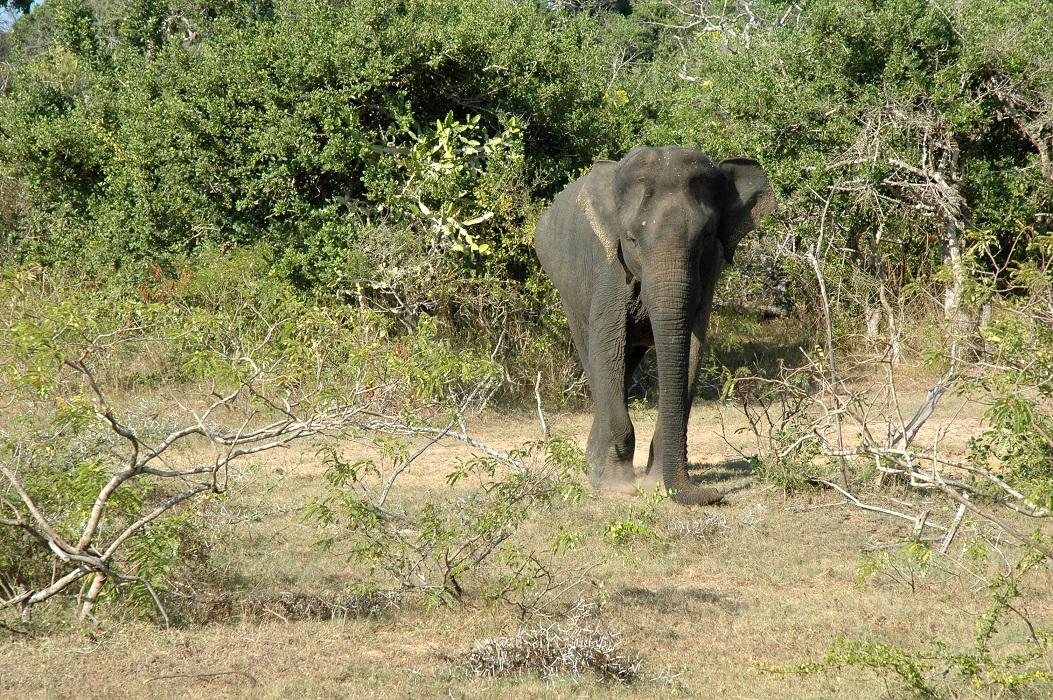 Elefante nel Parco Nazionale di Yala