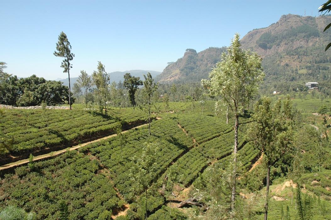 Piantagioni di te in Sri Lanka