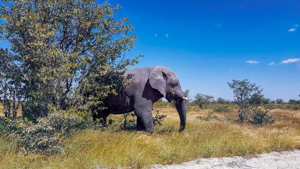 elefante nell'Etosha Park in Namibia