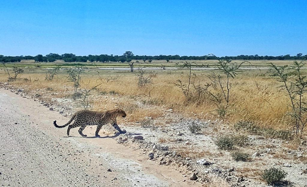 Leopardo nell'Etosha National Park