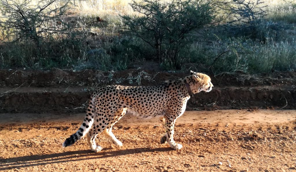 Ghepardo all'AfriCat Foundation in Namibia