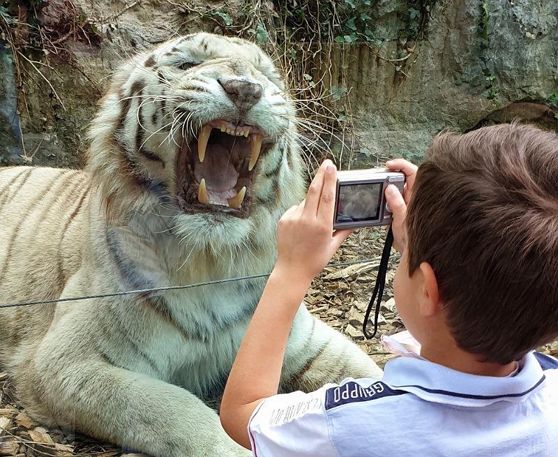 scatto alla tigre bianca al parco delle cornelle