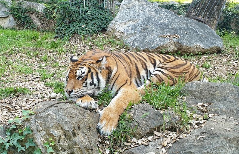 tigre allo zoo delle cornelle di bergamo