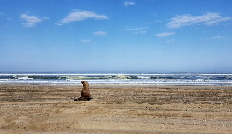 foca sull'oceano atlantico a walvis bay vicino a swakopmund