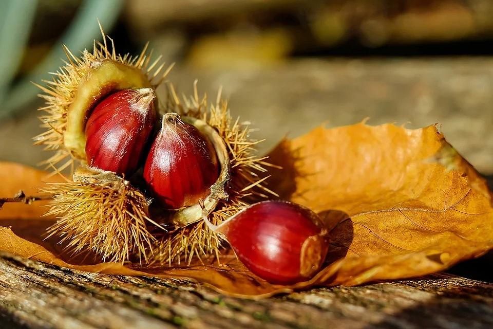 raccogliere le castagne in autunno