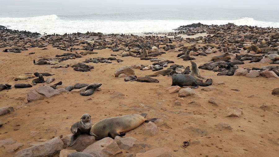 otarie nella riserva di Cape Cross in Namibia