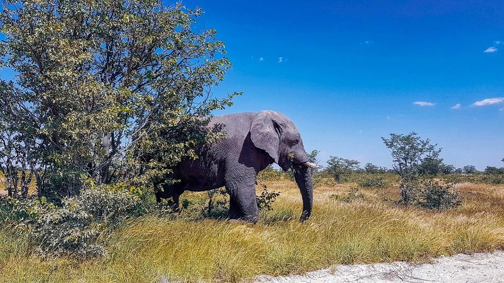 Elefante nell'Etosha_cose da vedere in Namibia