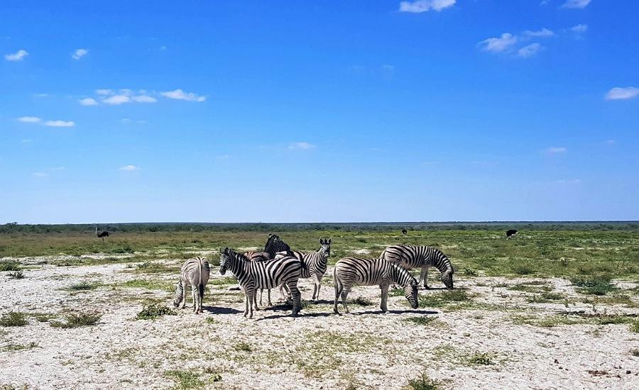 Zebre nell'Etosha Natural Park in Namibia_cosa vedere in 10 o 15 giorni